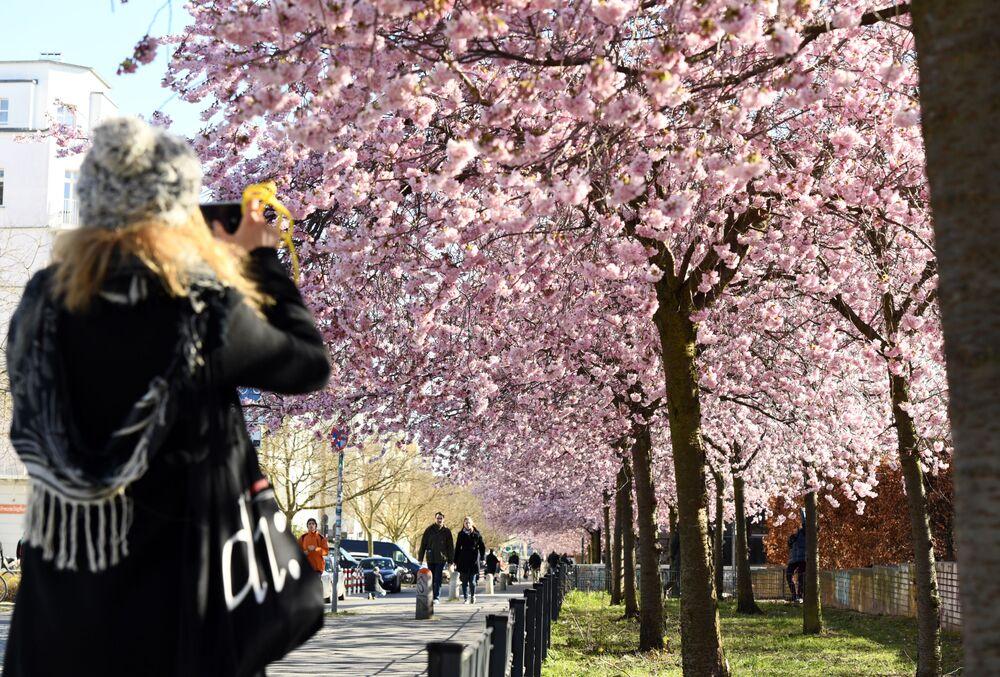 Kwitnienie japońskiej wiśni w Berlinie