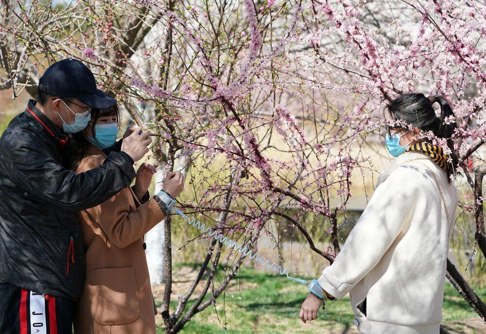 Kwitnienie sakury w Pekinie