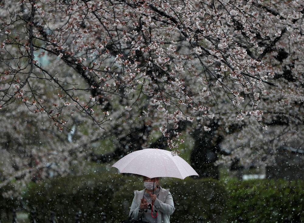 Kwitnienie sakury w Tokio