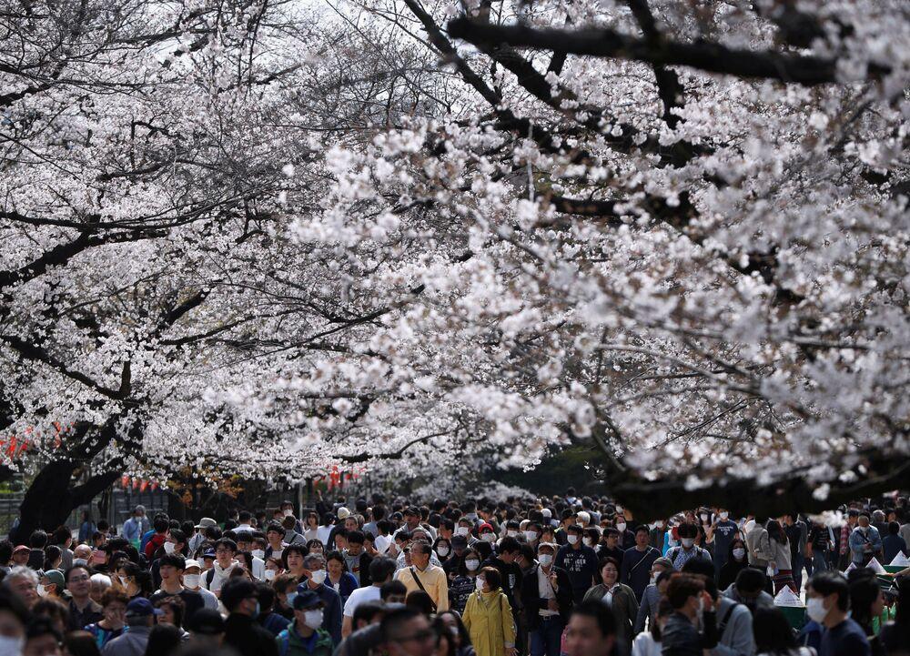 Kwitnienie sakury w Japonii
