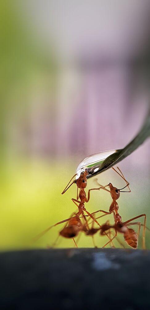 """Zdjęcie """"Thirsty ants"""", Filipiny"""