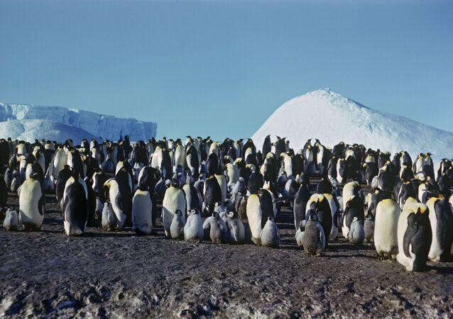 Pingwiny, Antarktyda