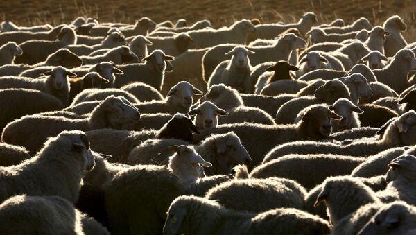 Stado owiec i kóz niedaleko farmy w Tuwie - Sputnik Polska
