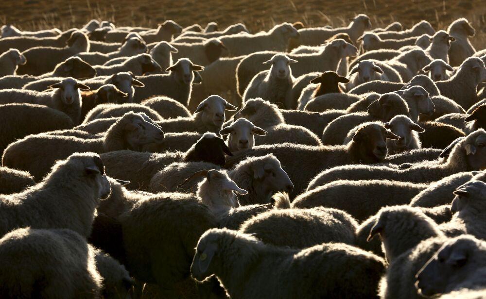 Stado owiec i kóz niedaleko farmy w Tuwie