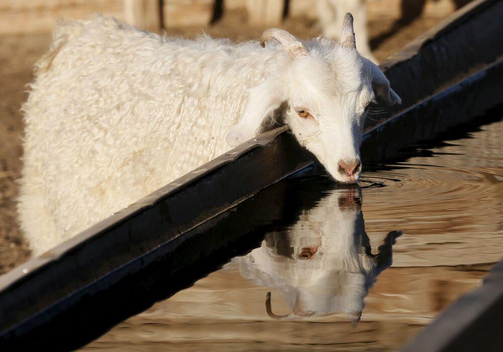 Koza pije wodę na farmie w Tuwie