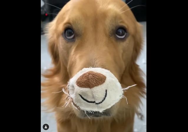 Golden retriever w masce