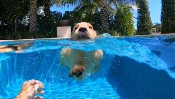 Przyszły pływak: lekcja pływania dla uroczego szczeniaka rasy golden retriever - Sputnik Polska