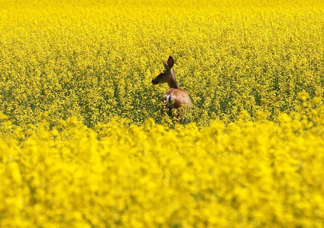Pole żółtych kwiatów w Kanadzie