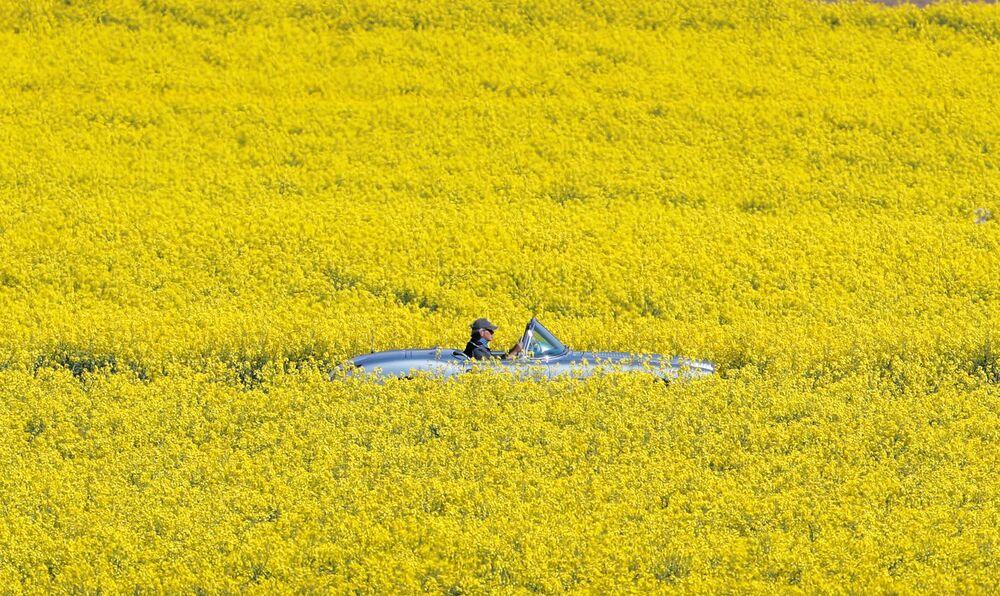 Pole żółtych kwiatów w Szwajcarii