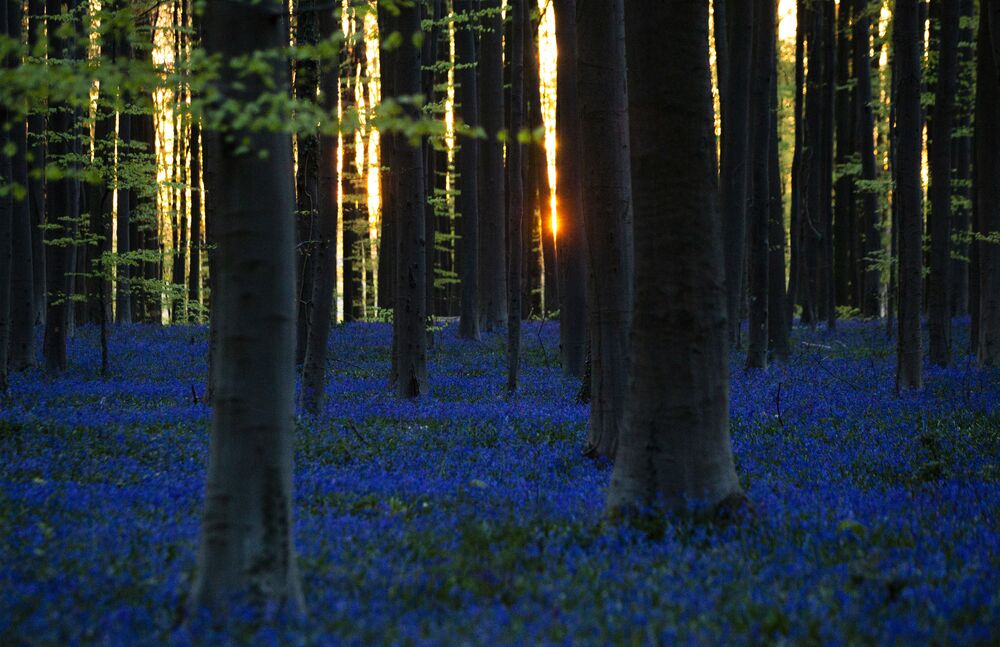 Hiacynty w lesie Hallerbos w Belgii