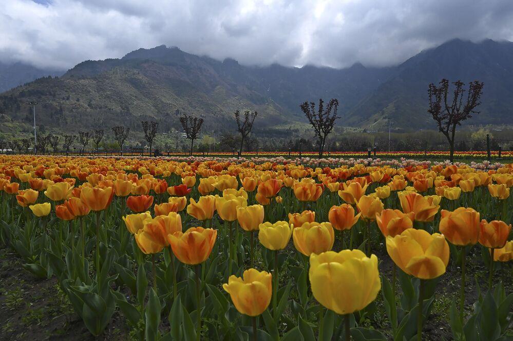 Tulipany w Indiach