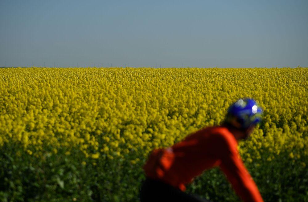 Pole żółtych kwiatów w Wielkiej Brytanii