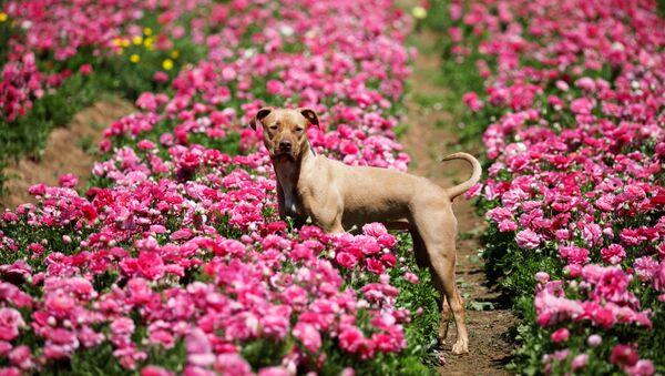 Pies na polu kwiatów, Izrael - Sputnik Polska