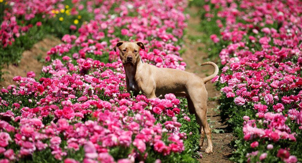 Pies na polu kwiatów, Izrael