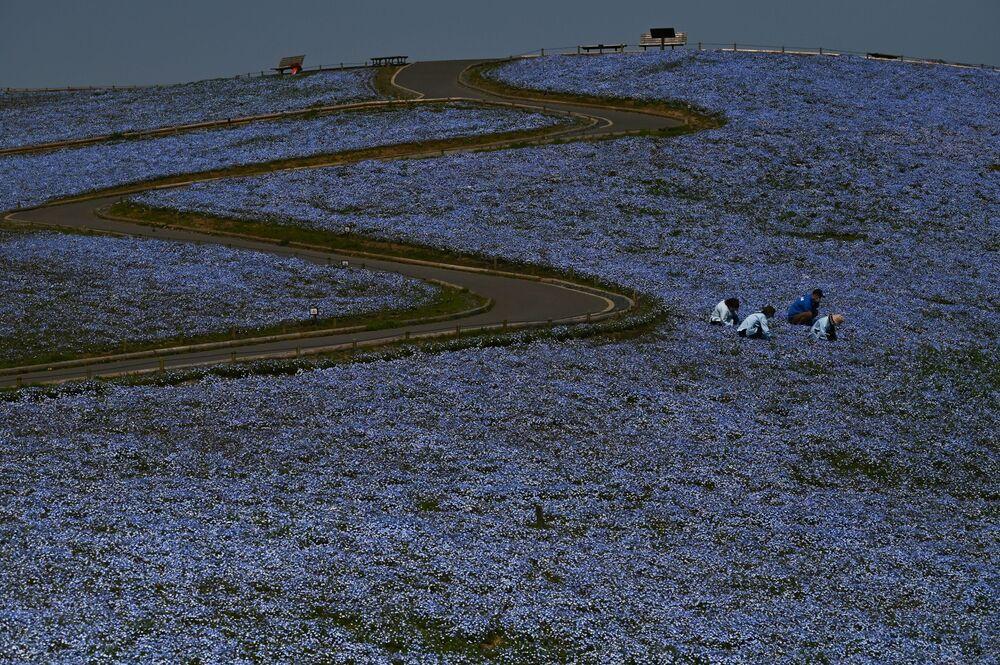 Pole niebieskich kwiatów w Japonii