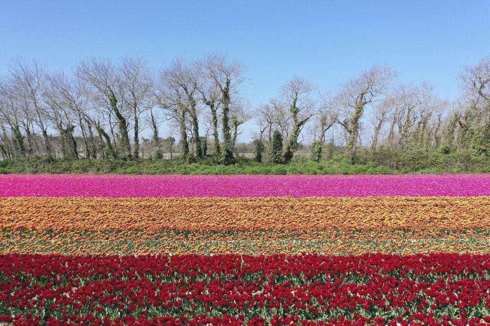 Tulipany we Francji