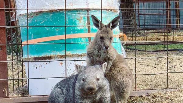 Kangur i wombat - Sputnik Polska
