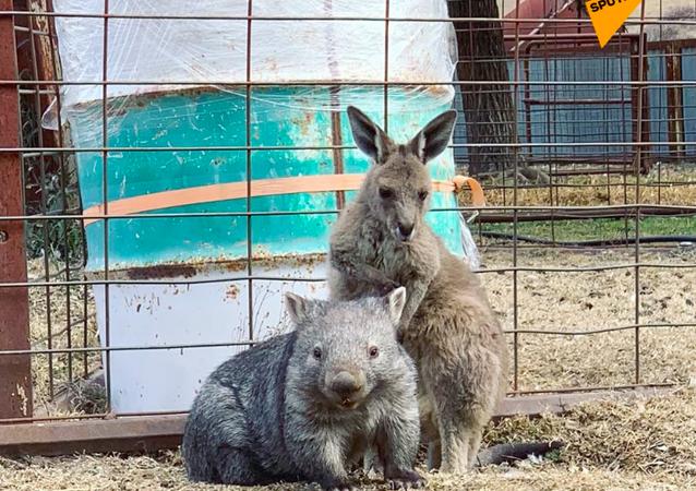 Kangur i wombat