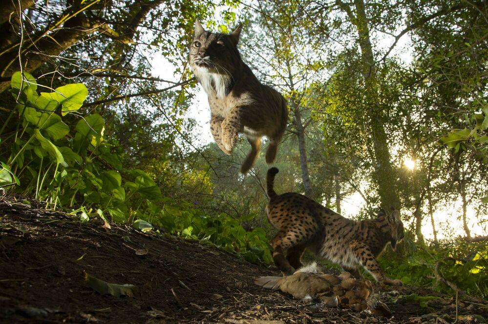 """Zdjęcie The King of Doñana, fot. Antonio Pizarro Rodriguez, 3. miejsce w kat. """"Przyroda"""""""