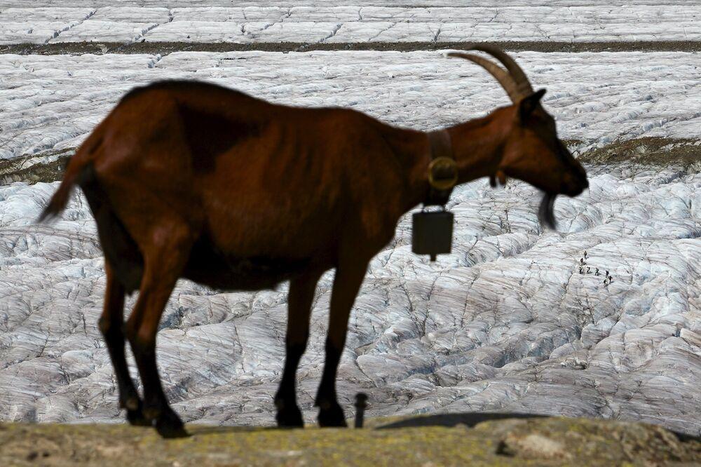 Koza na lodowcu Aletschgletscher w Alpach