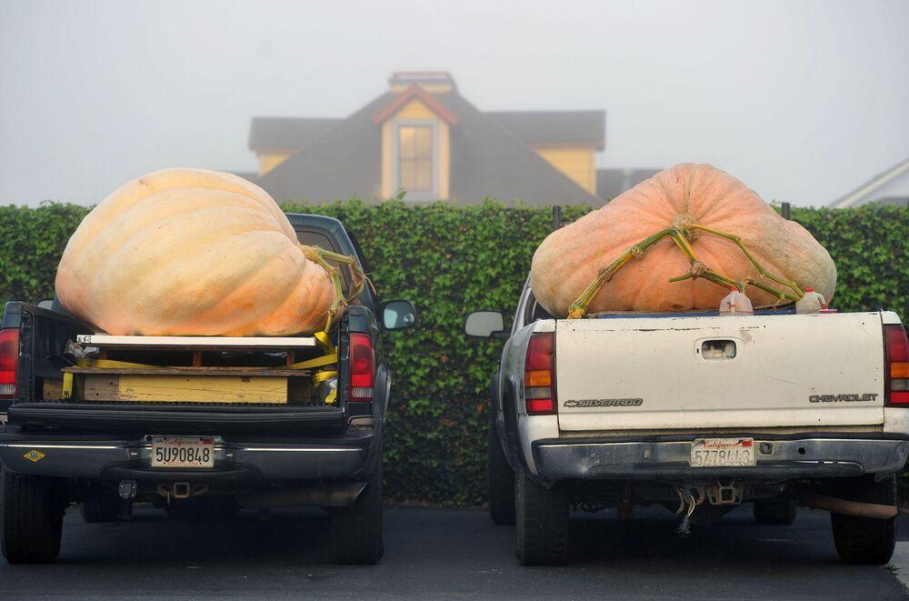 Olbrzymie dynie przed corocznym konkursem 42nd annual Safeway World Championship Pumpkin Weigh-Off Contest w Kalifornii