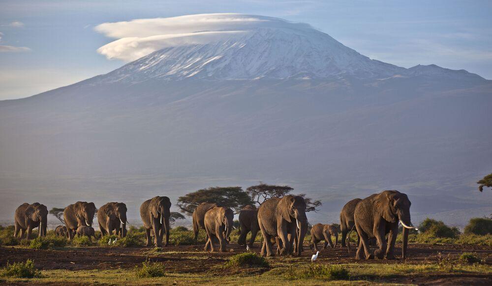 Stado słoni na tle góry Kilimandżaro, Kenia