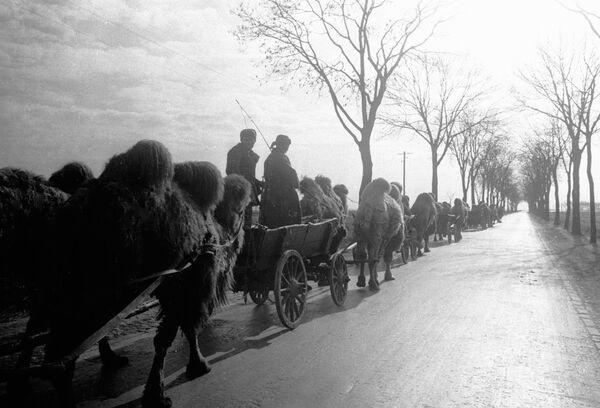 Kolumna z wielbłądami, 1945 rok - Sputnik Polska