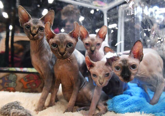 Koty sfinksy