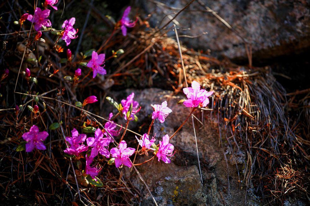 Kwitnące kwiaty nad jeziorem Bajkał