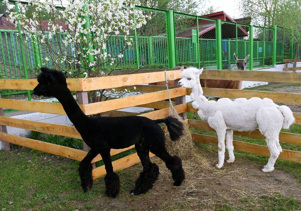 Alpaki Romeo i Julia po strzyżeniu w ogrodzie zoologicznym w Krasnojarsku
