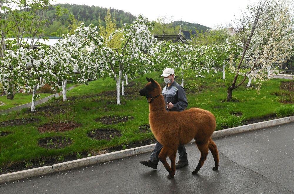 Zoolog z alpaką, Krasnojarsk