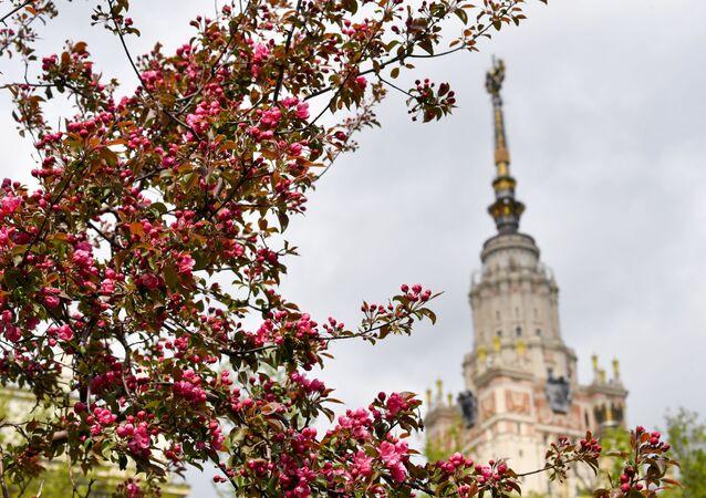 Kwitnące jabłonie w pobliżu Moskiewskiego Uniwersytetu Państwowego w Moskwie.