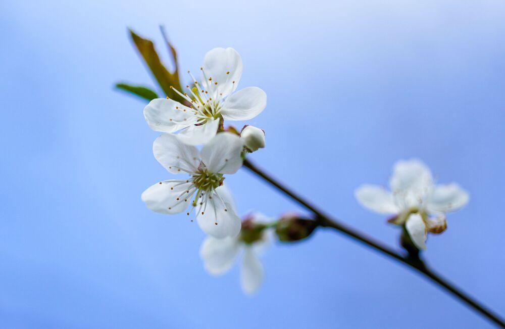 Kwitnąca gałązka wiśni. Moskwa.
