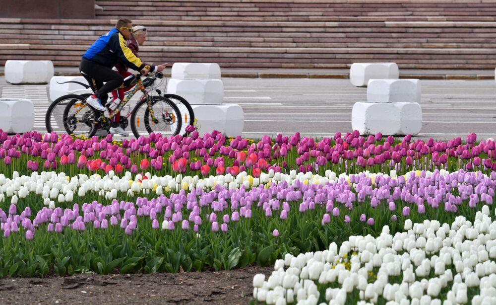 Tulipany w pobliżu Moskiewskiego Uniwersytetu Państwowego w Moskwie.