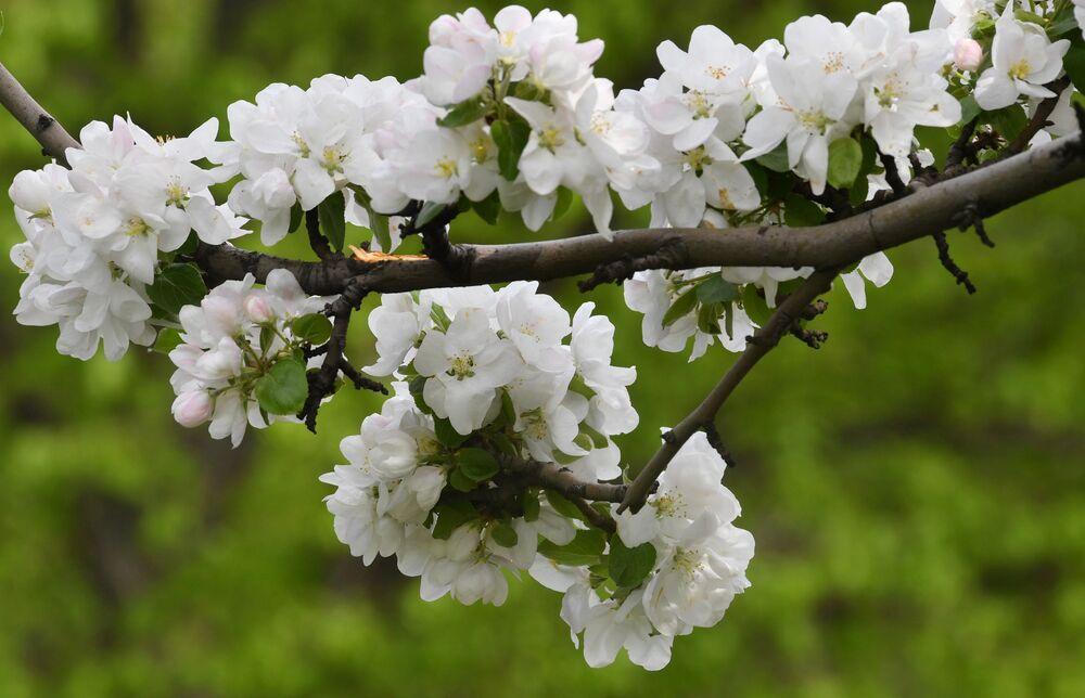 Kwitnące drzewa w Moskwie.
