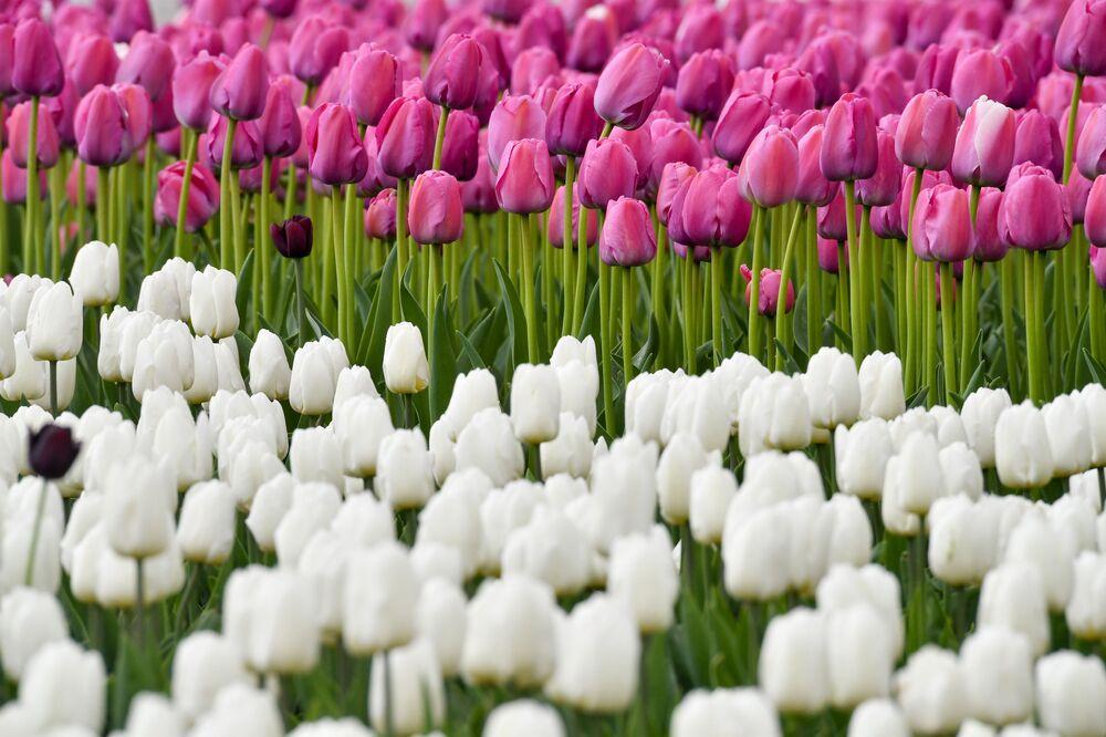 Kwitnące tulipany w Moskwie.
