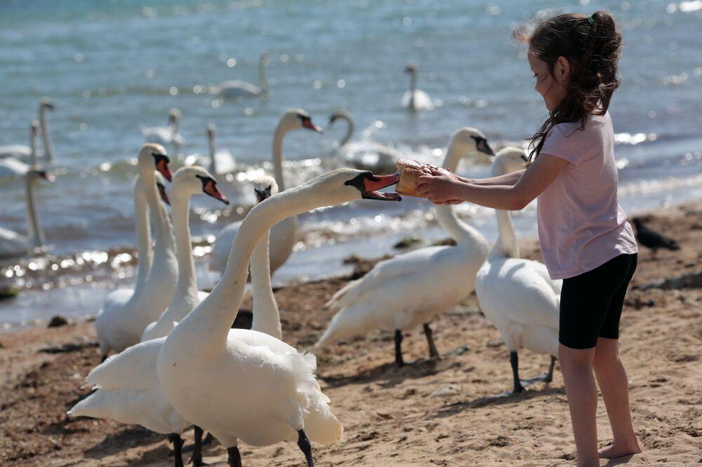 Dziewczynka karmi łabędzie na plaży w Eupatorii