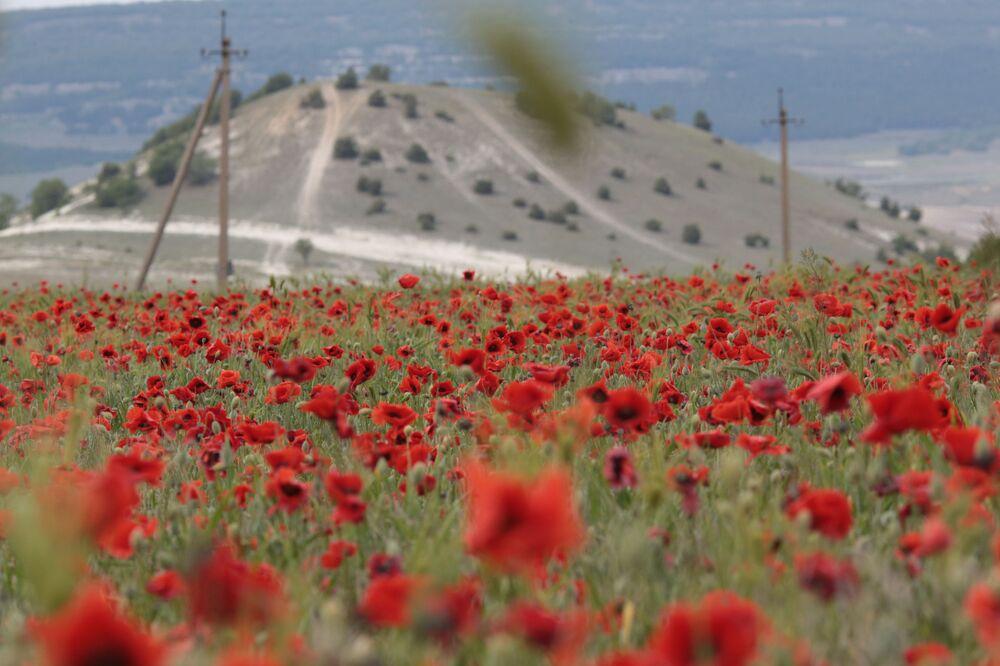 Kwitnące maki na Krymie