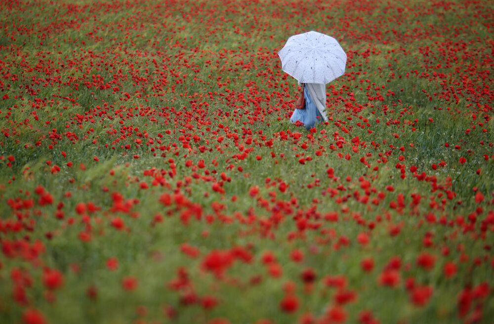 Kwitnące makowe pola na Krymie