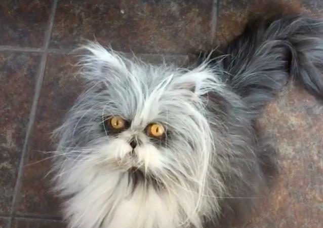 Kot gwiazda rocka