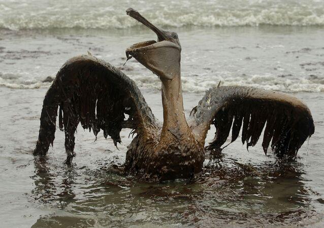 Pelikan pokryty wyciekami ropy w Luizjanie
