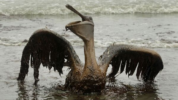 Pelikan pokryty wyciekami ropy w Luizjanie - Sputnik Polska