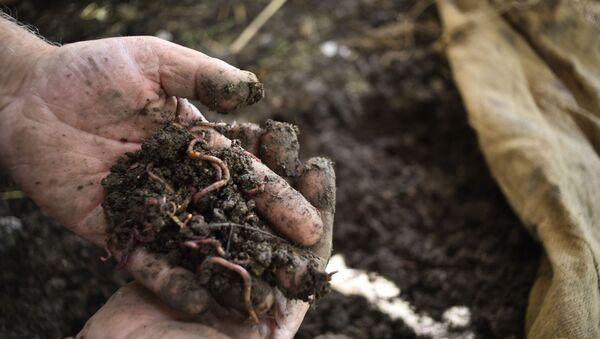 Syryjski rolnik Hasan Khalifa stworzył pierwszą w Syrii fermę dżdżownic.  - Sputnik Polska