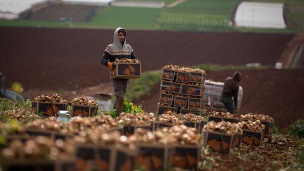 Palestyński rolnik na Zachodnim Brzegu Jordanu - Sputnik Polska