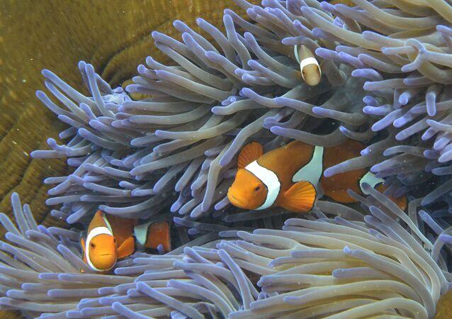 Ryby pływające w Wielkiej Rafie Koralowej w Australii