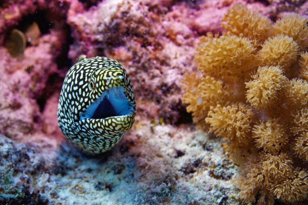 Murena olbrzymia w wodach Oceanu Indyjskiego