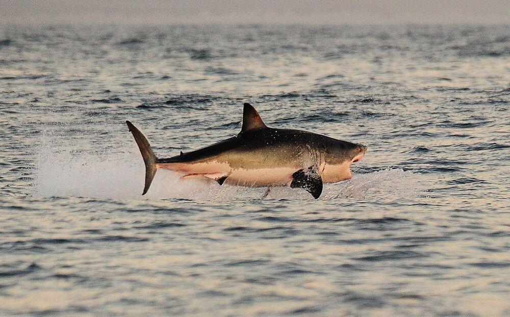 Biały rekin w Południowej Afryce