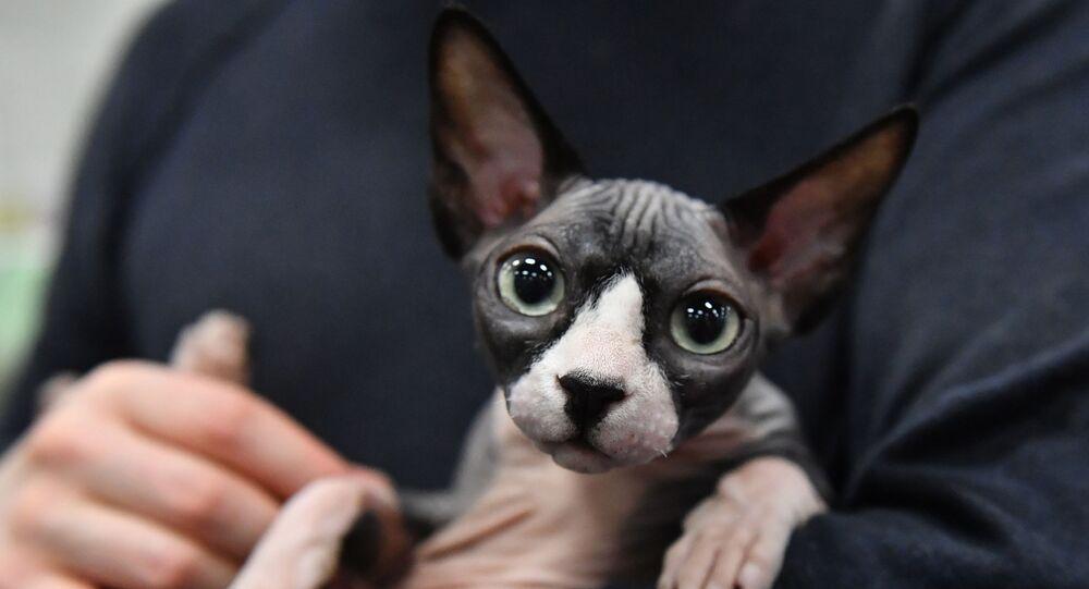 Kot rasy sfinks (kanadyjski bezwłosy