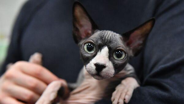 Kot rasy sfinks (kanadyjski bezwłosy - Sputnik Polska