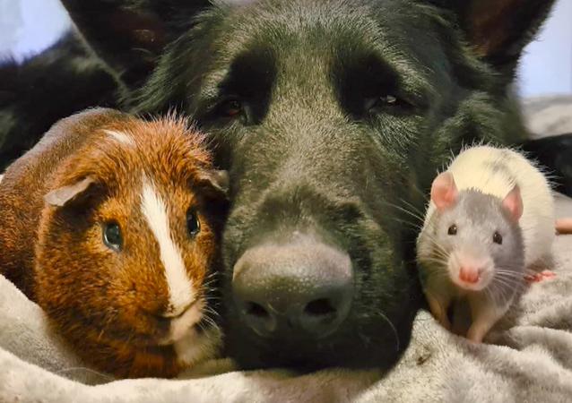 Owczarek i szczur